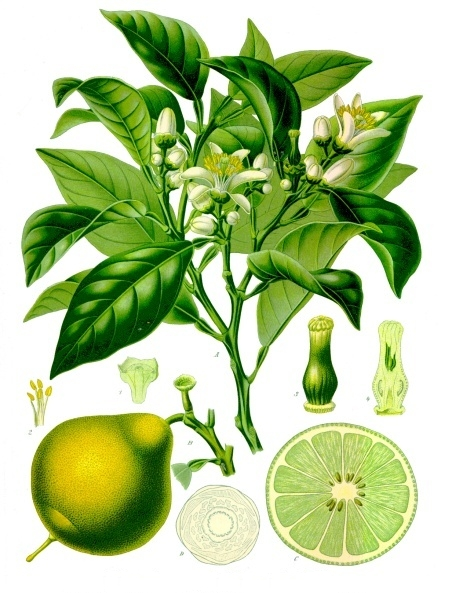 Bergamot large